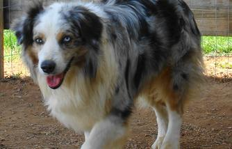 About Mini Aussie Country Toy And Mini Aussie Puppies For Sale