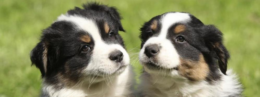 Mini Aussie Country Toy And Mini Aussie Puppies For Sale
