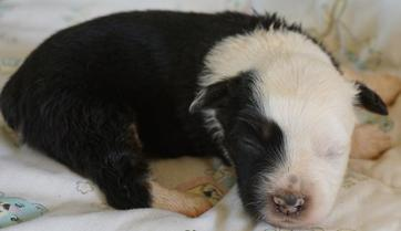 Our Puppies | Toy and Mini Aussie Puppies For Sale